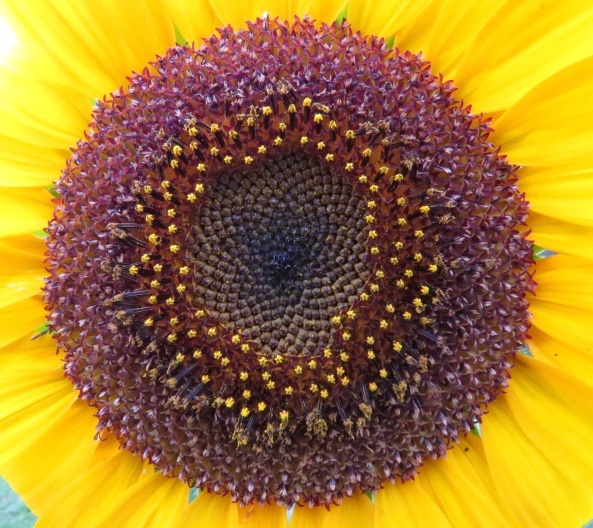 Super sunflower!