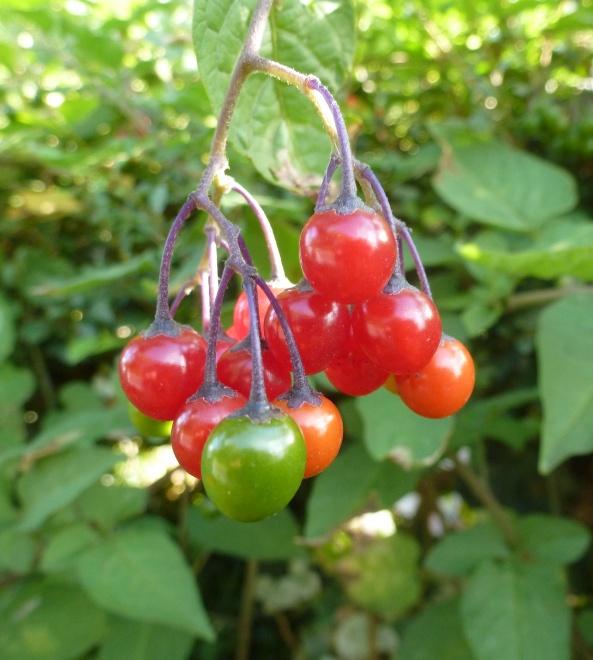 Woody nightshade berries!