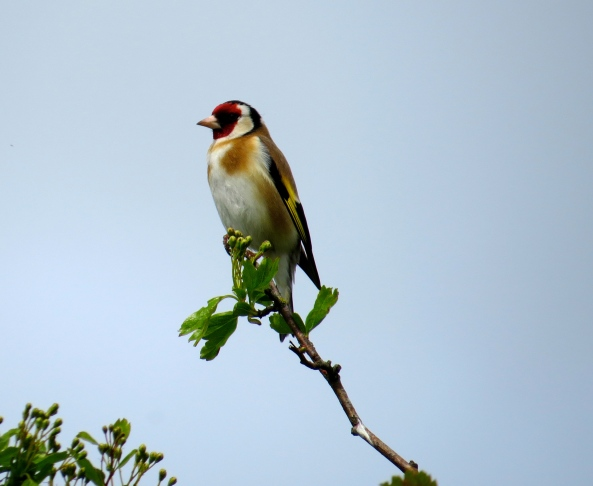 I see goldfinches all year round, but I took this photo last week….and it's Spring….so….it's in this collection!