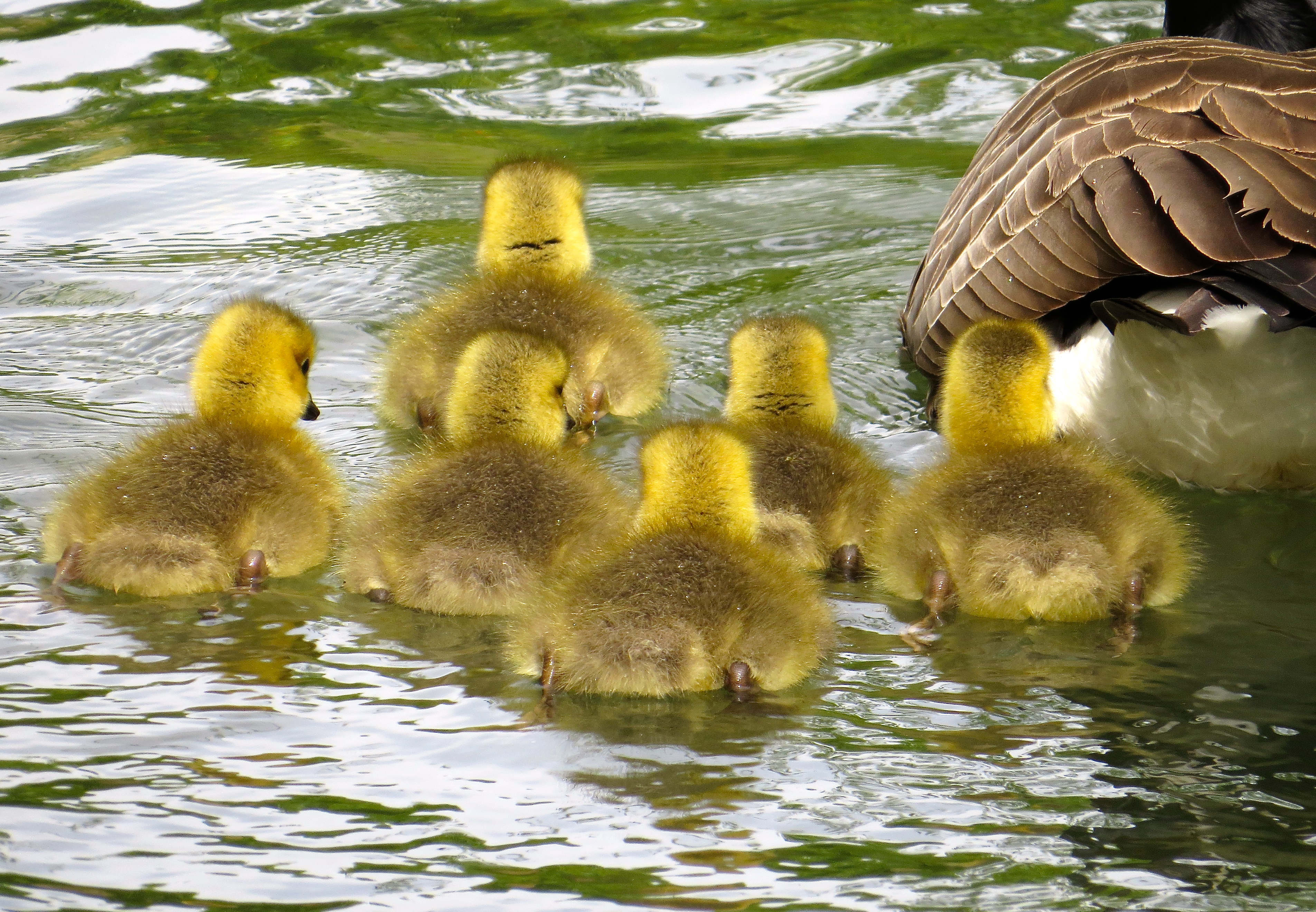 Ahhhhhhh…..goslings, though they didn't seem to want to have anything to do with me!