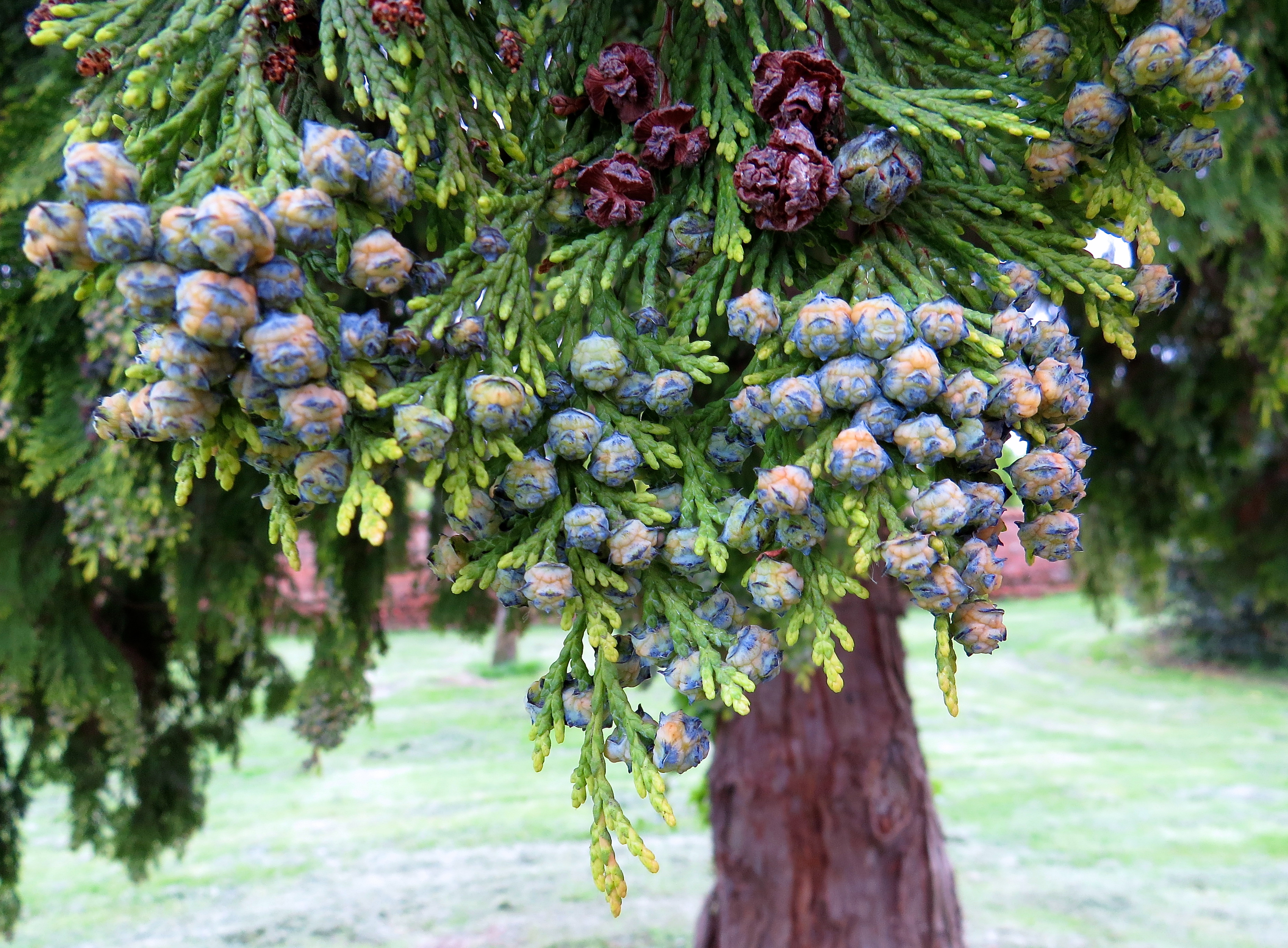 These will change colour and become pine cones (I think!).