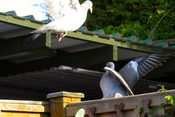 """Screeching in a viciously coo-ey sort of way that's scary only to pigeons Pomeo shouts, """"She's mine and whilst I have beats in my wings and coos in my heart you will never have Paloma Pigeon as your gal!"""""""