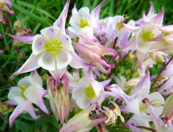 Wild Aquilegia in the field behind my house