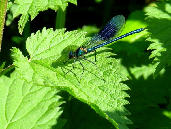 Just look at this damselfly's wings!