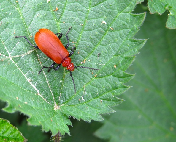 Then here's Lily…yes Lily Beetle!