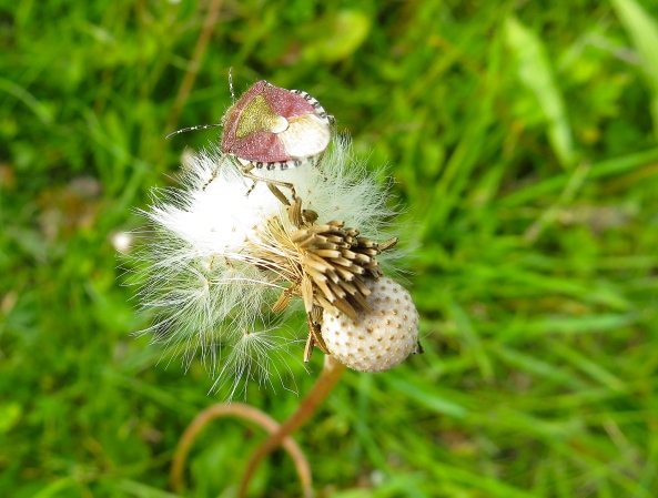 and round the dandelion clock!