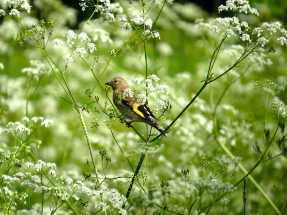 Geraint Goldfinch on Carol Cow-Parsley!