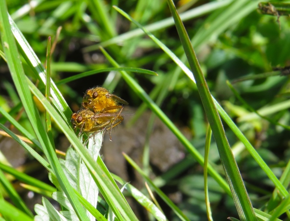 How could I miss a snap of some flies mating having sat upon some dung!
