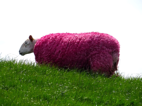 Pink sheep for the Giro d'Italia Northern Ireland