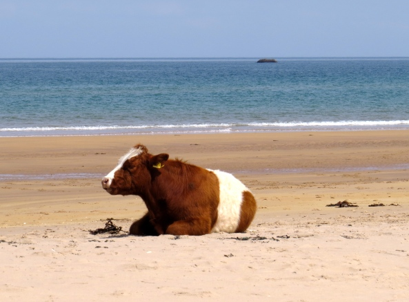 A cow on White Park Bay in Northern Ireland!