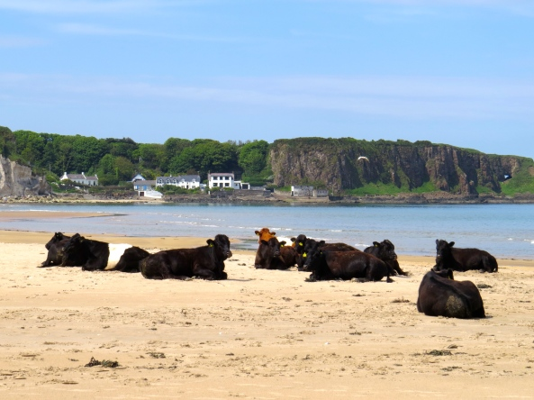 A herd of cows resting after feeding on the seaweed!!