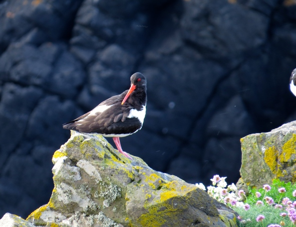 Moments later, Olly Oyster Catcher could see that there was no longer any danger and decided to have a sit down!!