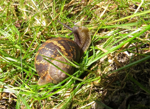 Some people believe he is a little pretentious with airs and graces unbecoming to a Common Garden Snail!
