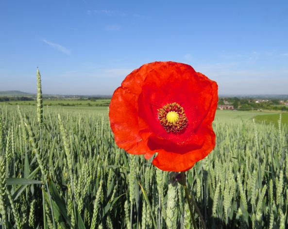 A single poppy in the field behind my house!