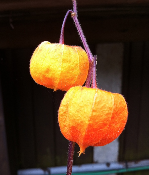 It's Physalis Alkekengi also known as Chinese Lantern