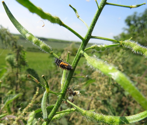 And finally….Lucinda Ladybird Larva who is a bit of a free spirit!