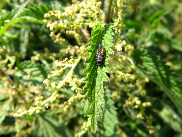 Lionel Ladybird Larva is enjoying a moment sliding down the nettle! Well if you can't do tin when you're a juvenile ladybird, when can you eh??