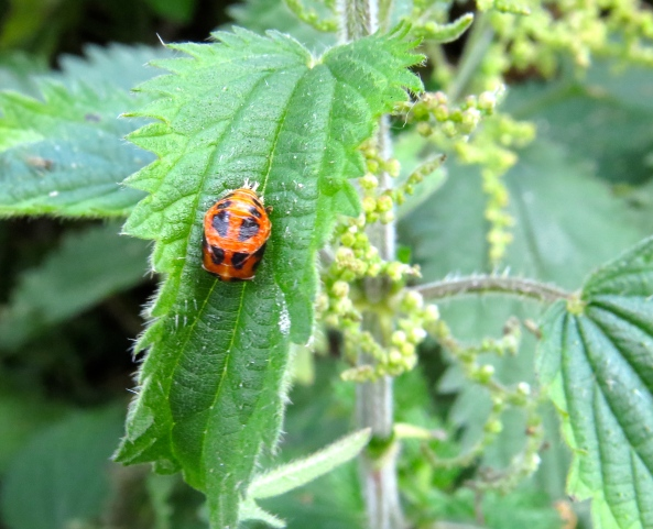 Yes….that's a ladybird pupa!