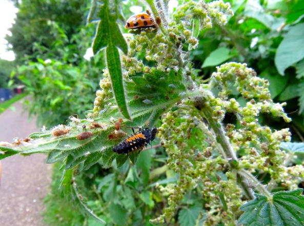 Meet Lincoln Ladybird Larva who's wondering if that's his dad on the top of the nettle!