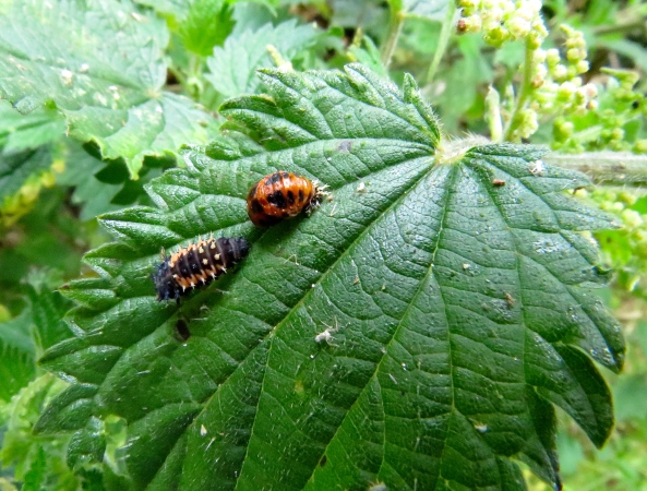 …and this is L Ladybird Larva looking at his future, or is he turning his back on it??
