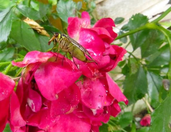 Scorpion Fly!