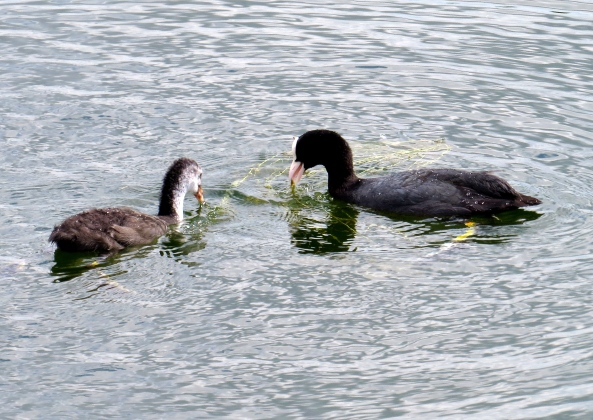 """""""That's right Calendra,"""" bipped Mrs. Coot (for that's the noise they make), """"Just give it a peck and Bob's your uncle!"""""""