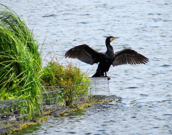 Cadwina Cormorant flapped and waved and flapped and waved all to no avail!