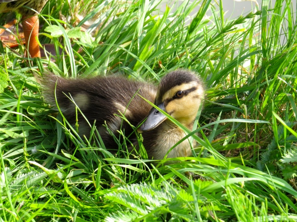 Davina Duckling ventured out into the hot sun…...