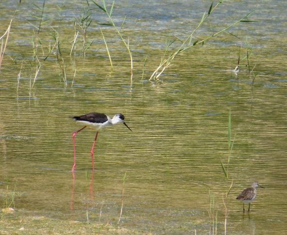 This is a Black Winged Stilt and his friend!