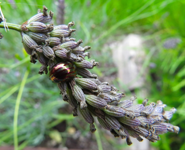 I do have rosemary in my garden but apparently Lady Rosemary Leaf-Beetle has extended her taste to lavender!!