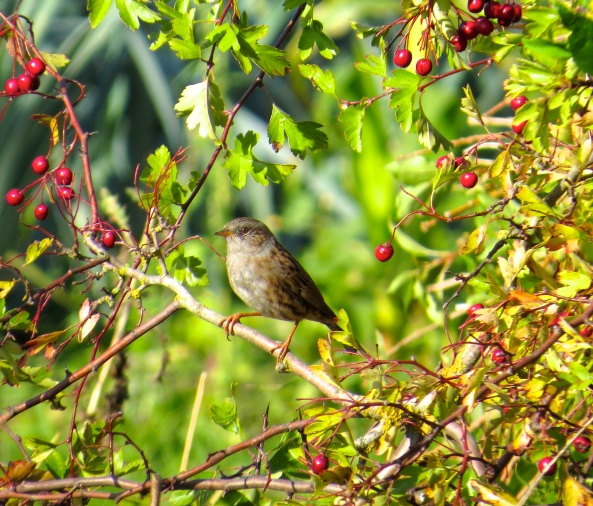 A dunnock taking his pick of hawthorn berries.