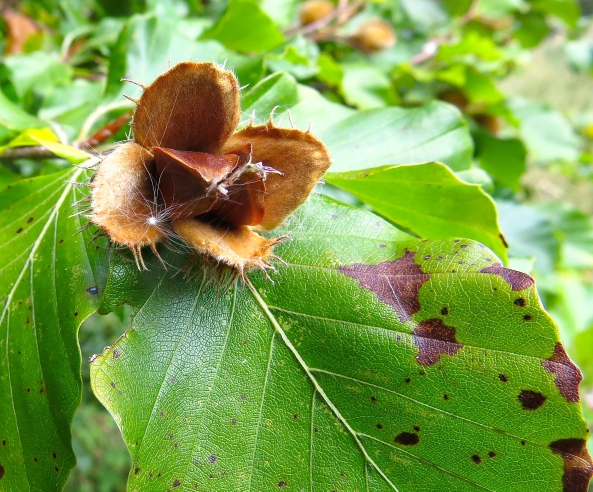 Beech nuts-you can eat them!