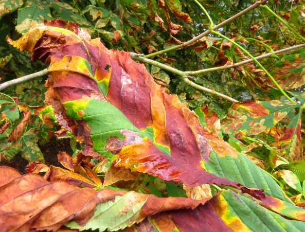 Conker tree leaves (horse chestnut tree)