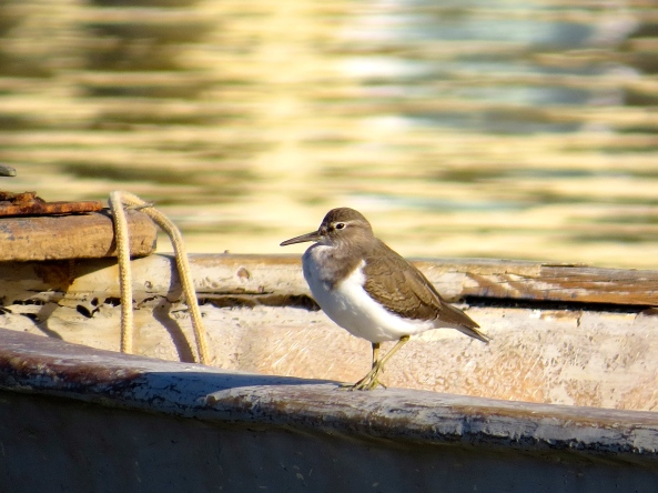A Sandpiper sitting dreamily on the edge of a boat.