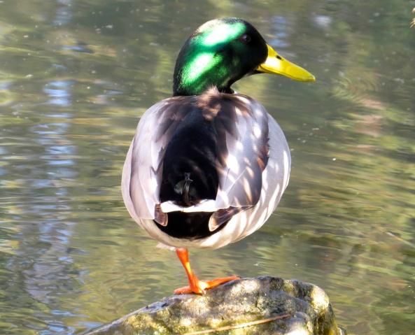 Dappled Duck!