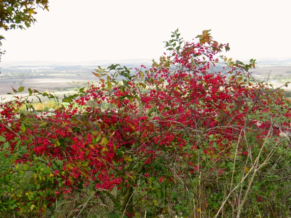 Not my best photo but it shows how bright the spindle bush is!