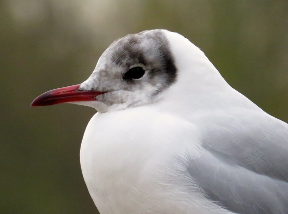 Black headed Gull in the process of losing his black head for the winter!