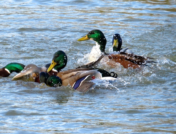 Dirty ducks fighting over a lady Duck!