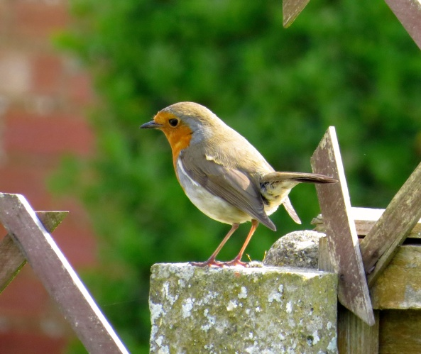 He hopped onto the garden post and looked and looked…..surely this was the time of year when the garden took on a minimalist look-what with winter approaching and all!