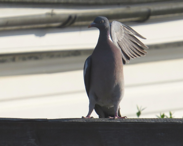 """Come any closer and I'll slap you!"" said Pete Pigeon."