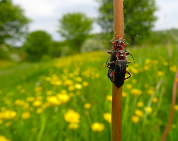 """Quick nip round the back and she'll never see us!"" said Sam the Soldier Beetle!"