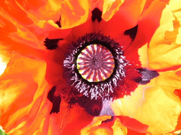 A true POPpy of colour!