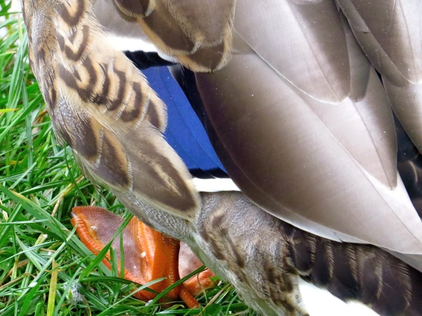 Duck duck ducky wucky!