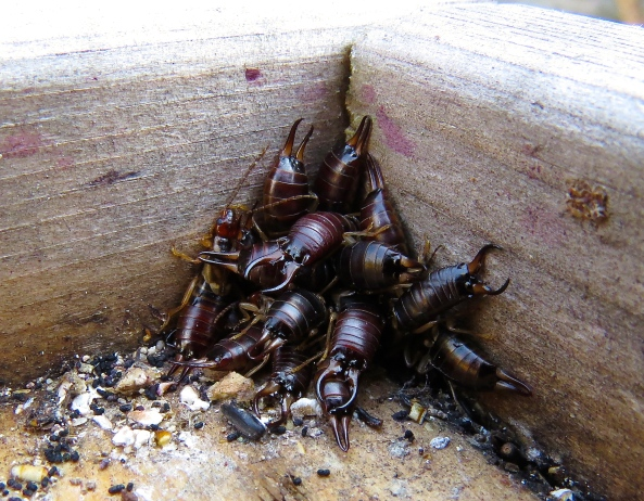 I found these rather scary yet strangely handsome earwigs under my bird feeder plate!