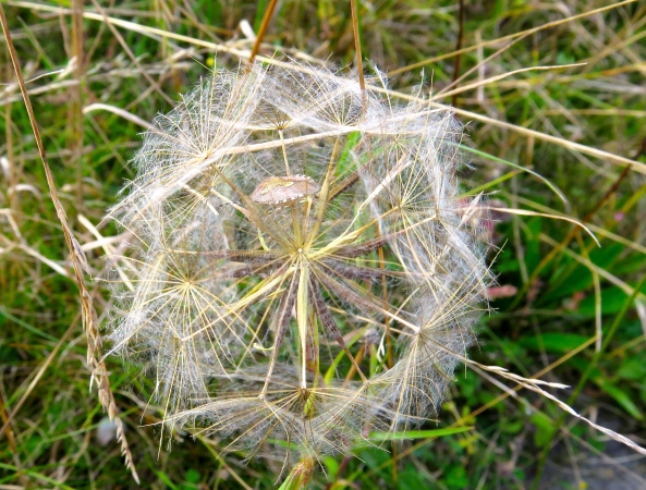 Have you spotted the Shield bug in side this seed head?