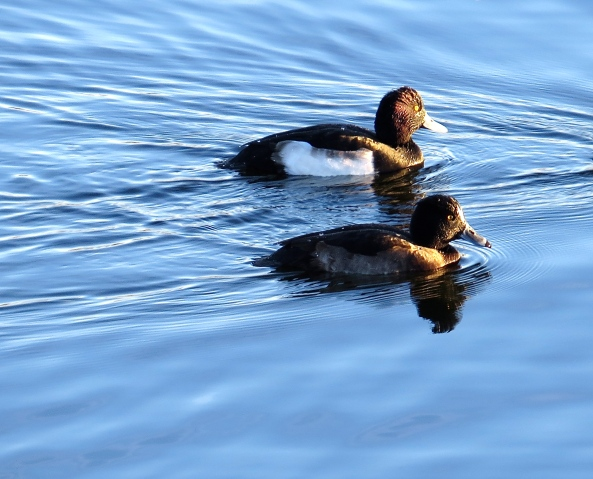 """Don't look at her and she'll go away!"" said Tufty the Tufted Duck to his pal! ""How rude!' thought I!"