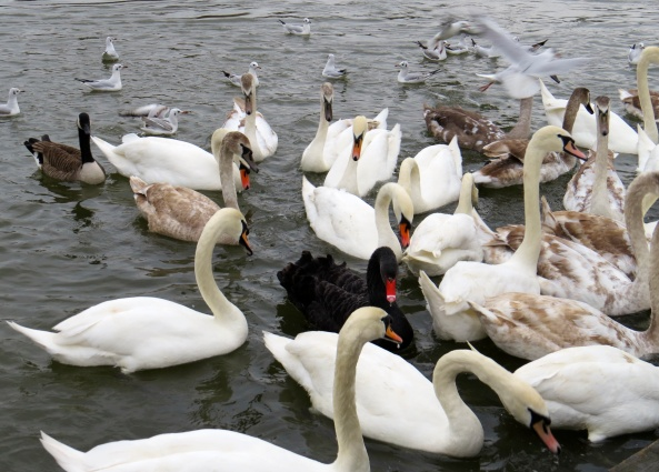 The swans all listened And so did the gulls They couldn't believe what they saw They started to shout and call Cyril names Now what did they do that for?