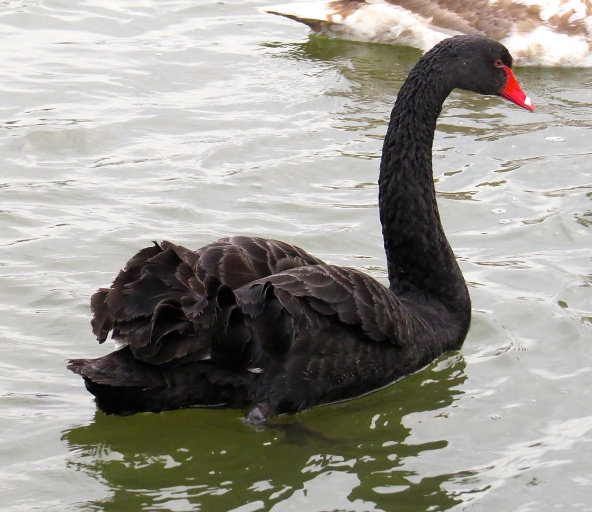 Belinda Black Swan is beautiful, She's also rather vain! She swims about the river Where she can become a pain!