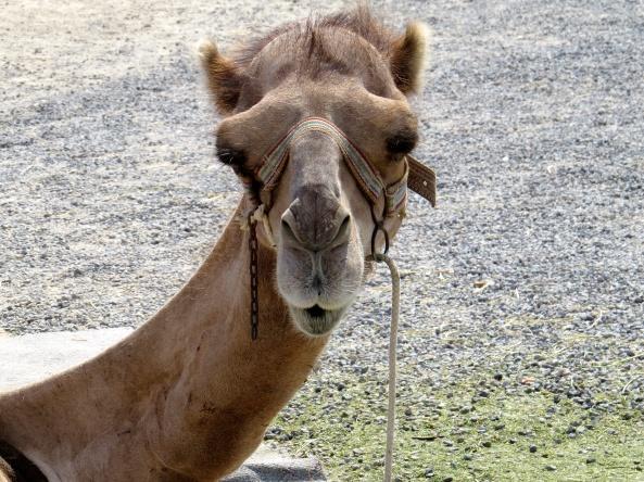 """Oooooh Cheeky!"" said Camille Camel!"