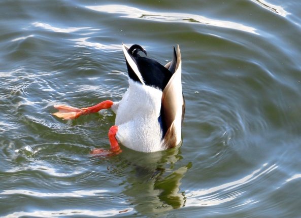 """""""Up yours!"""" said Dave Duck succinctly!"""